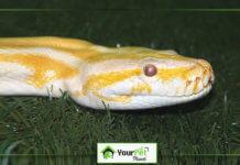 Caring and petting of Albino Ball Pythons