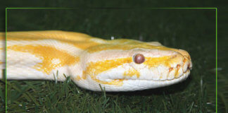 Caring and petting of Albino Ball Pythons