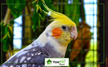 How to Identify a Healthy Cockatiel for sale