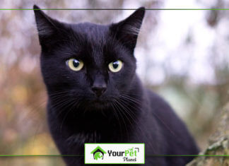 The Cutest Black Cat Breeds in The Market Today