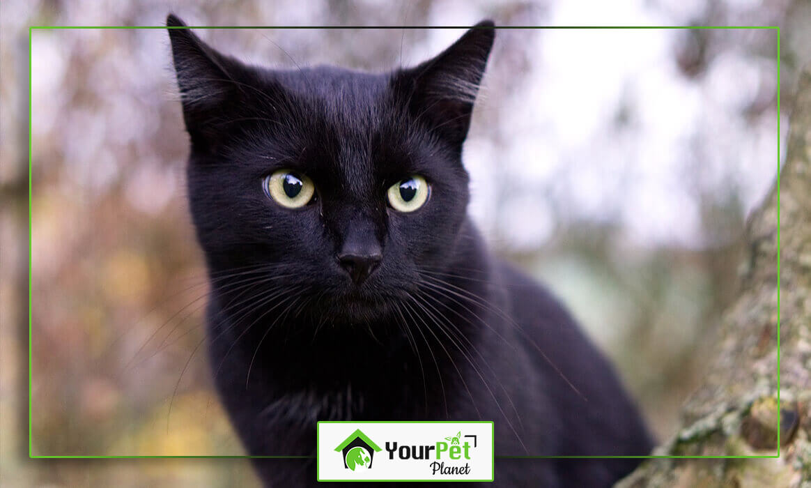 The Cutest Black Cat Breeds in The Market Today - Your Pet ...
