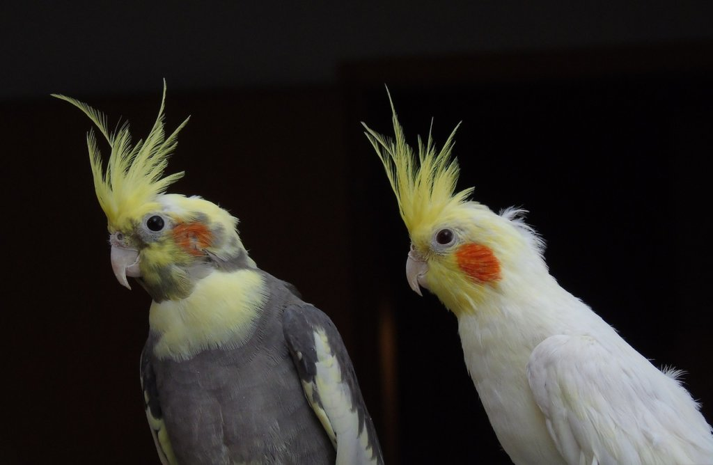 Cockatiel for sale