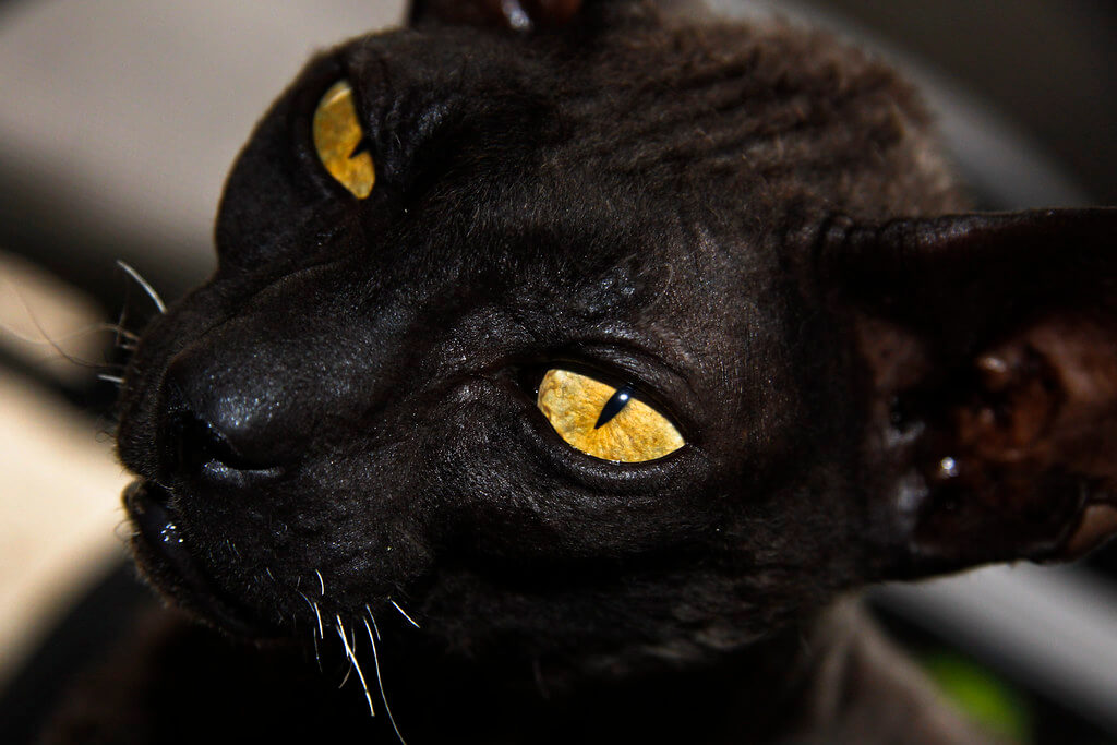 Black Cat Breeds