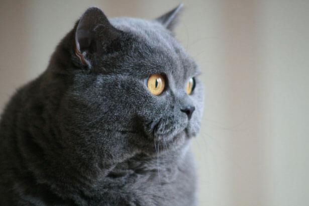 Black Cat Breeds