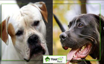 American Bulldog vs Pitbull