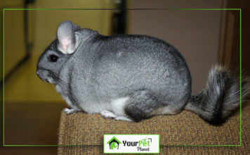 Lifespan of Chinchilla