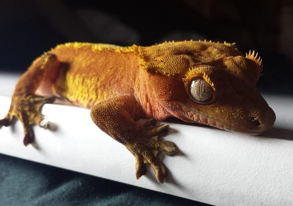 Best Pet Lizard