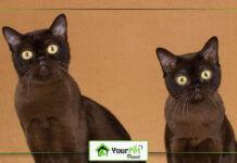 5 Stunning Brown Cat Breeds