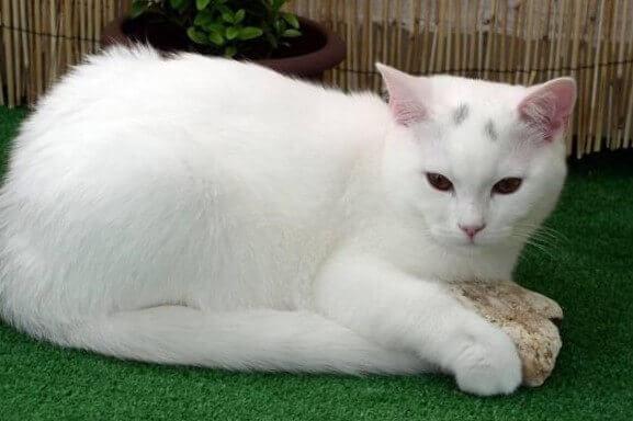 American Shorthair White Cat