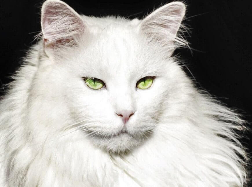 Maine Coon White Cats