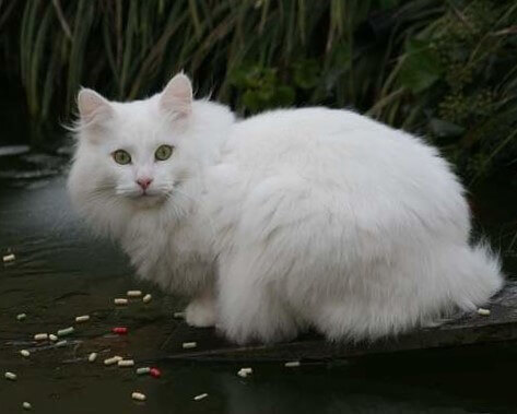 Norwegian Forest White Cats