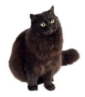 York Chocolate Cat Breed