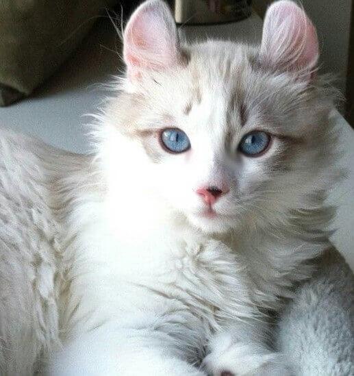 American Curl White Cat