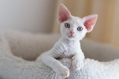 Devon Rex White Cats
